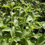 stor-stiva-plante